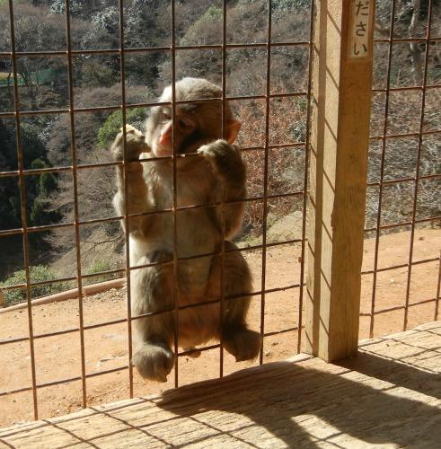 Monkey Looking at Food