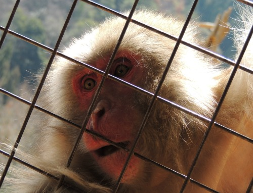 Monkey Mouth Open