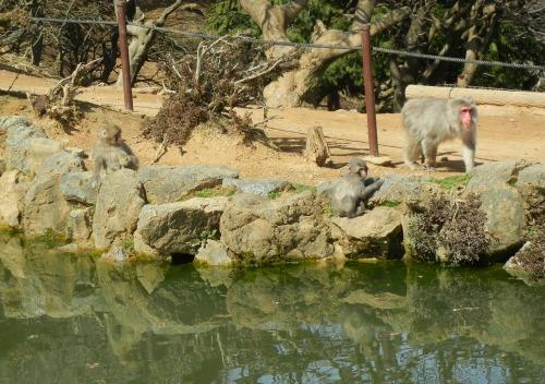 Monkeys by pond