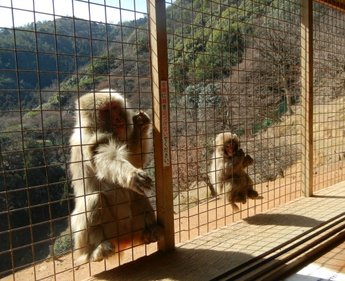 Monkeys waiting for food