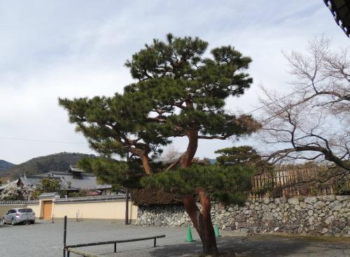 Pine in Arashiyama