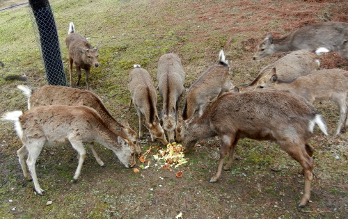 Deer eating vegetables
