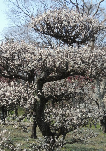 Gorgeous Plum Tree