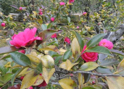 Pink Flowers Nara