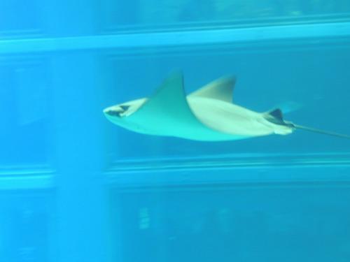 Stingray at Osaka Aquarium