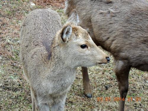 Young deer Nara