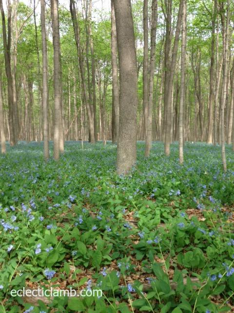 bluebells 5