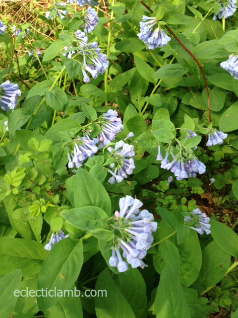 bluebells closer