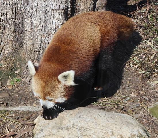 red panda 2.jpg