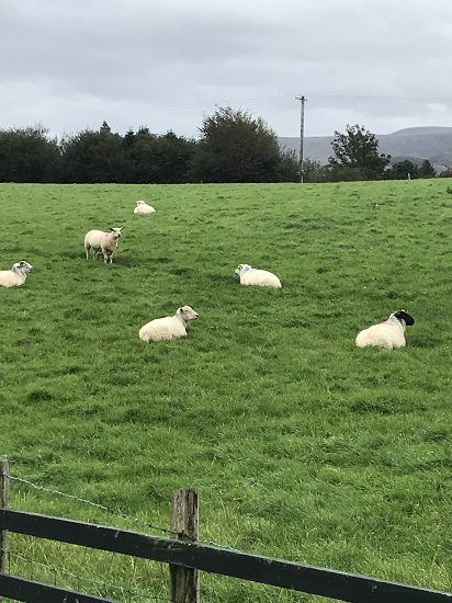 Sheep in Kenmare