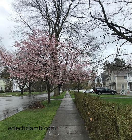 cherry blooming in rain
